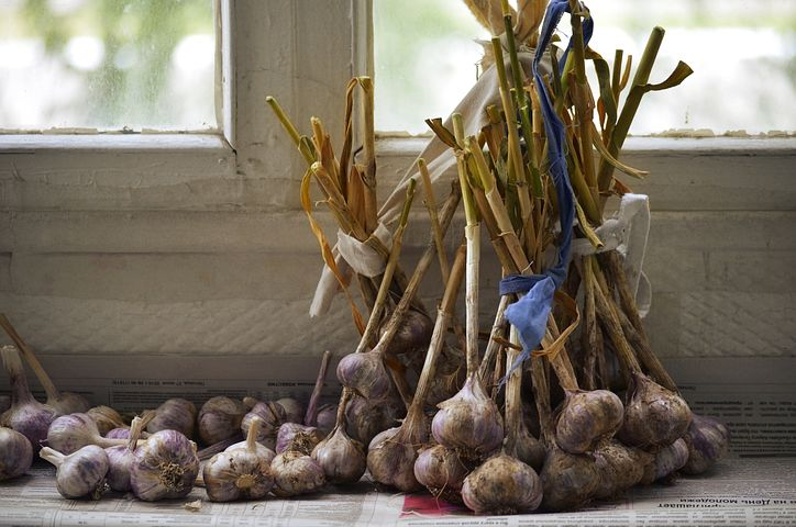 curing and storing of garlic
