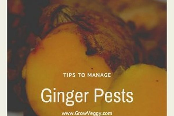 Ginger Pests: How these Insects Affect Your Ginger? Tips to control