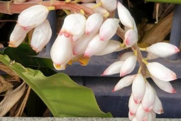4 Types of Ornamental Ginger with use and flower details