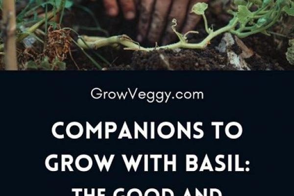 Complete guide to Good and Bad Basil Companion plants