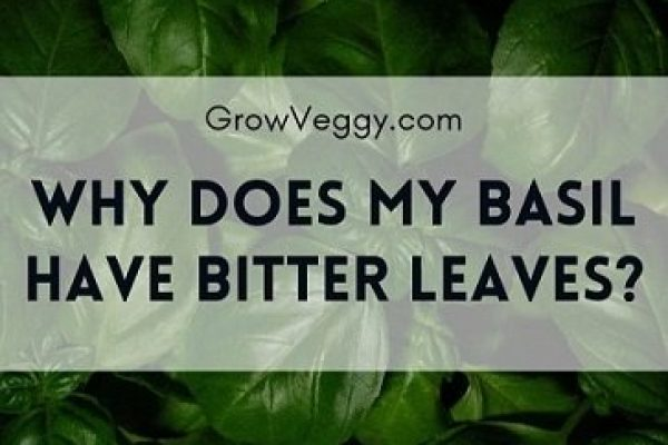 Why is my Basil bitter? How to fix it?