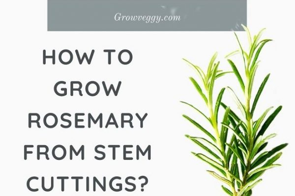 How to Grow Rosemary from cuttings? (Step by Step)