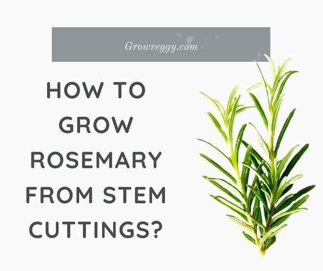 Grow Rosemary from Cuttings