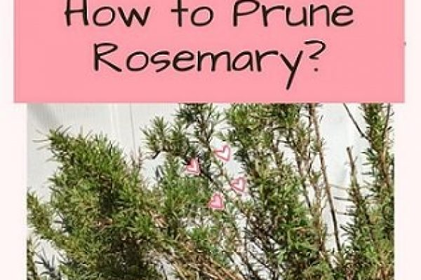 This is how to Prune Rosemary! Tips and Video