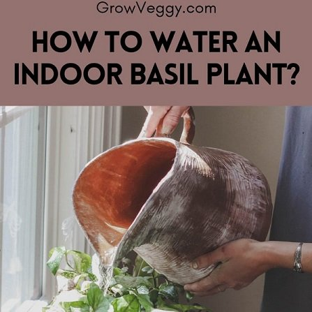 How to water an indoor basil plant