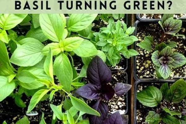Why is my Purple Basil turning Green? Tips to avoid