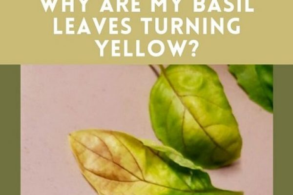 Why is Basil Leaves Turning Yellow? (With Solutions)