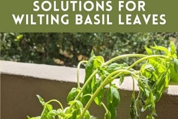 10 Common Reasons for Basil Plant Wilting (with Solutions)
