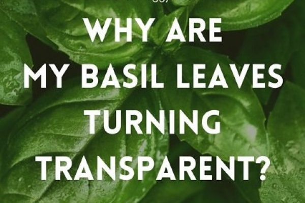 Why does my basil plant have transparent leaves?