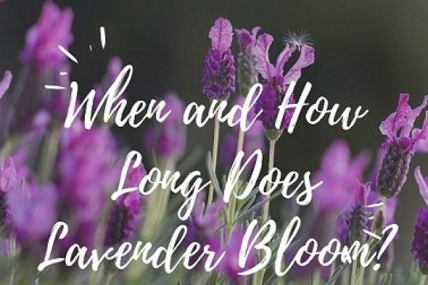 When and How Long Does Lavender Bloom?